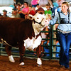 Debbie Blank | The Herald-Tribune<br /> Olivia Neal was successful at the 2018 Ripley County 4-H Beef show, earning two champion ribbons, including one for this Hereford heifer.