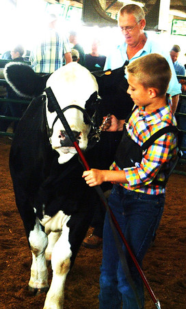 "Debbie Blank | The Herald-Tribune<br /> Matthew Baylor won the Homegrown Champion Simmental Heifer honor with an animal born March 1, 2017. ""Really a nice calf ... long spine,"" reported judge Greg Johnson, Tippecanoe County."