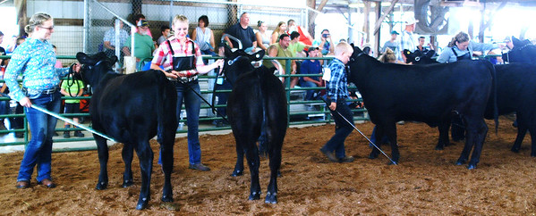 Debbie Blank | The Herald-Tribune<br /> Who's the best Angus? The heifers of (from left) Chloe Hunter, Brooke Heaton, Clayton Hunter and Olivia Neal are compared by the judge.