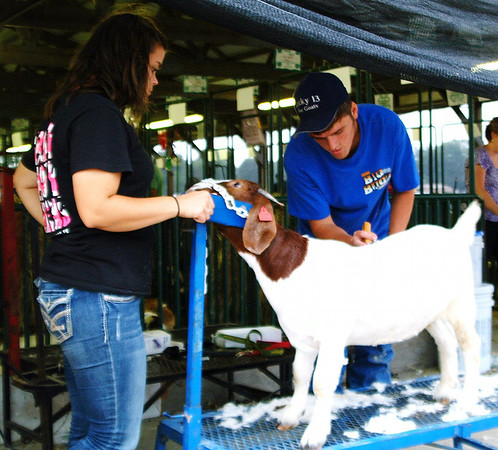 Christopher Aune | The Herald Tribune<br /> Natalie Wiedeman (left), Sunman, watches A.J. Ertel, Osgood, groom a goat. Both are 4-H leaders attending the fair in Osgood.