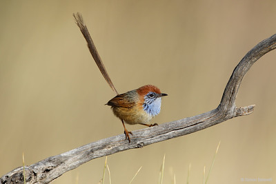Fairy-wrens and Grasswrens