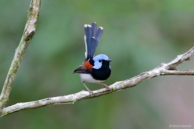Lovely Fairy-wren