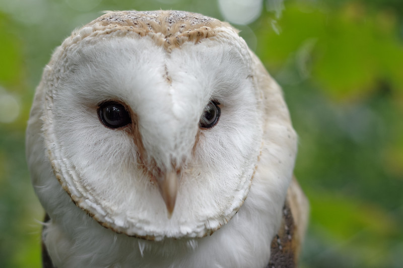 Barn owl, frontal portrait
