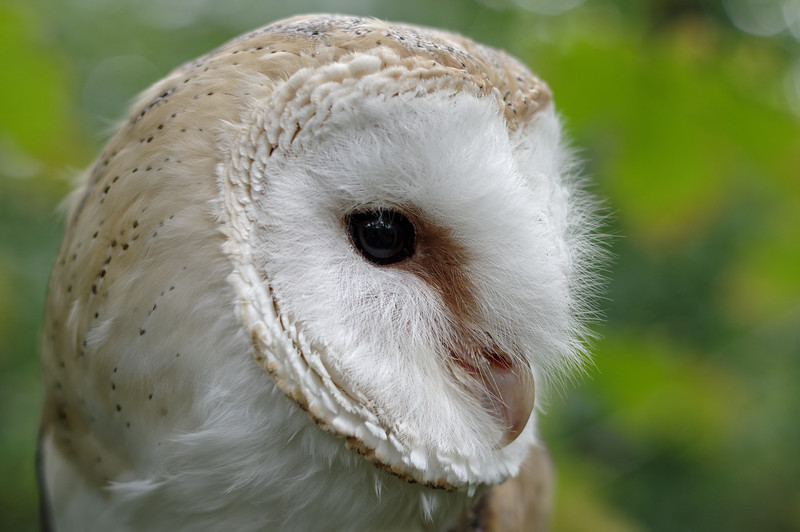 Barn owl, near profile