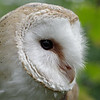 Barn owl, near profile