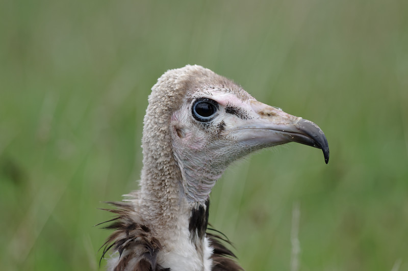 Hooded vulture, near profile
