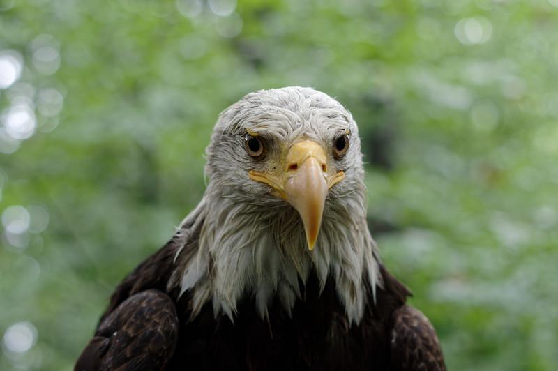 Bald eagle, frontal portrait