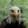 Bald eagle, frontal portrait