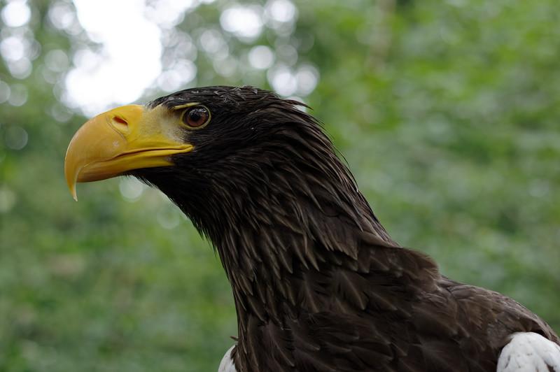 White-tailed eagle, profile