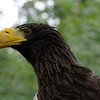 White-tailed eagle, profile
