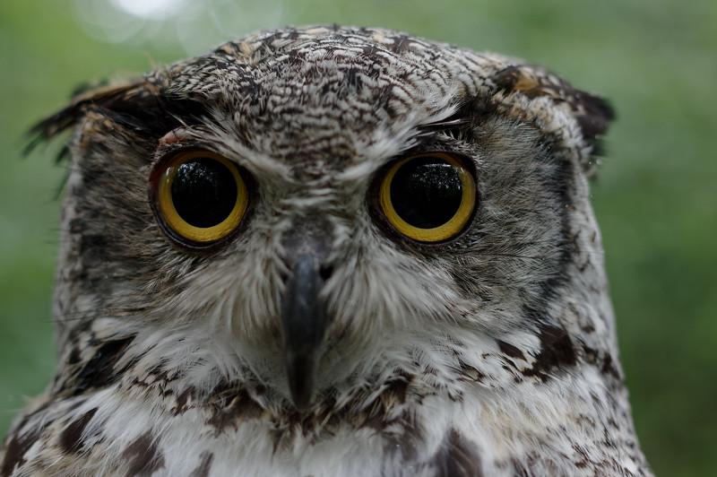 Great horned owl, frontal portrait