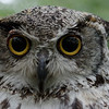 Great horned owl, frontal portrait