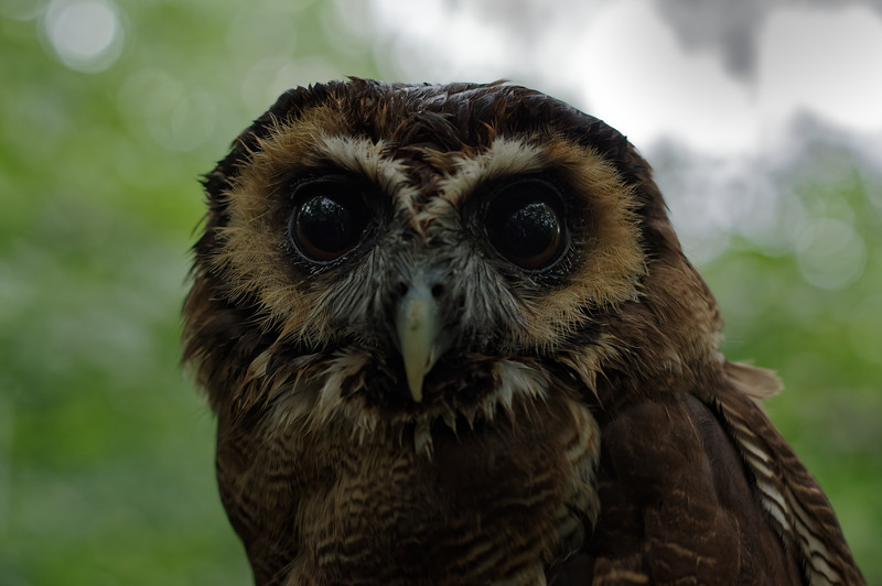 Brown wood owl, frontal portrait