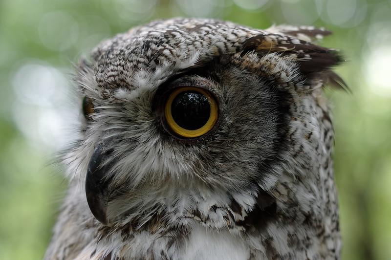 Great horned owl, near profile