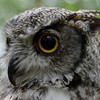 Great horned owl, near profile