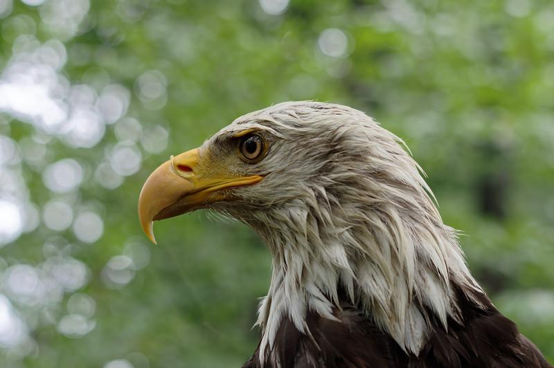 Bald eagle, profile
