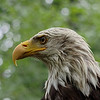 Bald eagle, profile