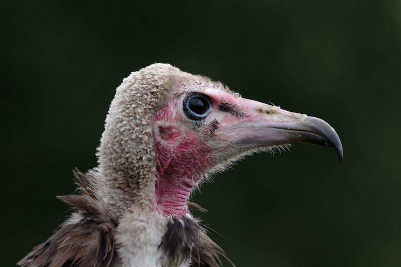 Hooded vulture, profile
