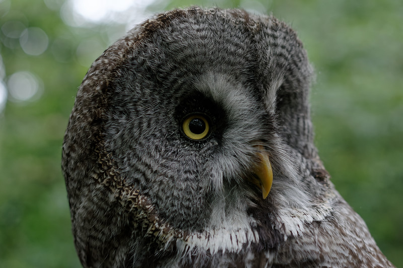 Great grey owl, near profile