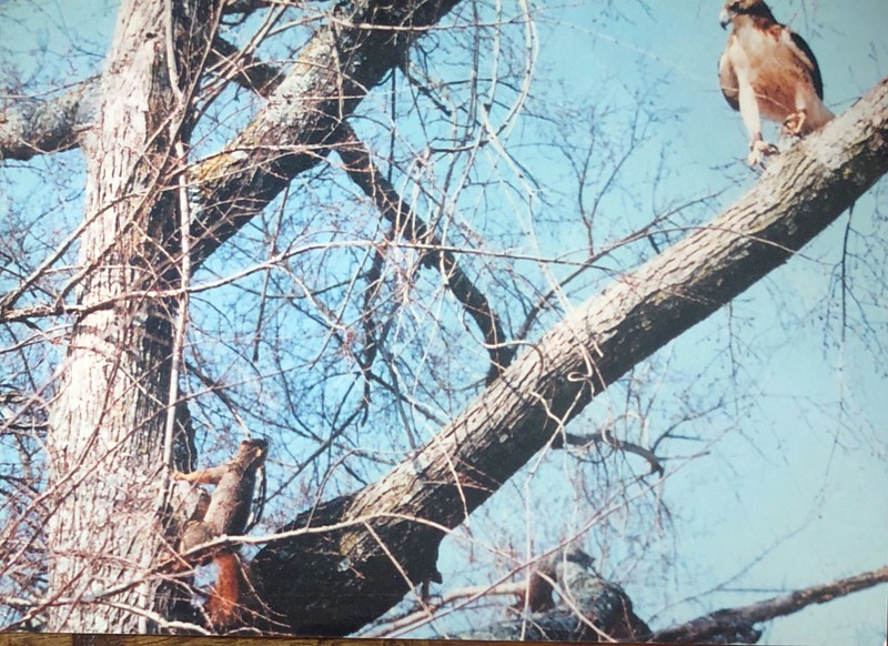 Danny's hawk Patience hunting a squirrel.