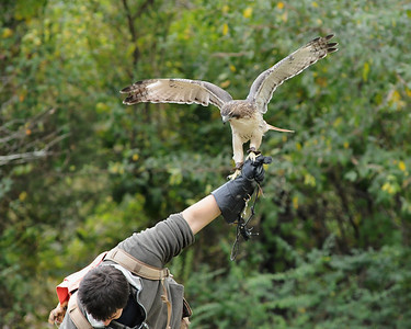 falconer with red-tailed hawk