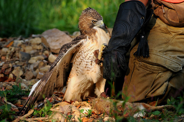 red-tailed hawk with a rabbit and falconer