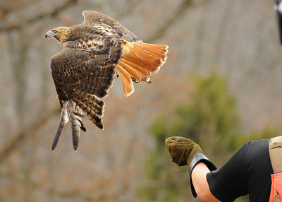 falconer releasing mature red-tailed hawk for a hunt