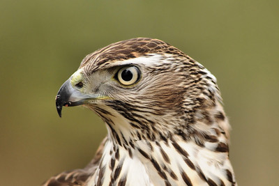 portrait of american goshawk