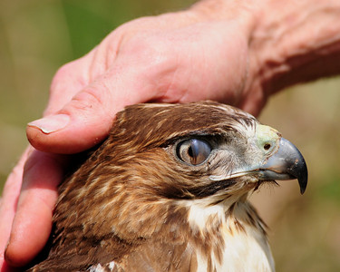 this image shows the nictitating membrane. A semi transparent eyelid that protects the hawks eyes from foreign objects.