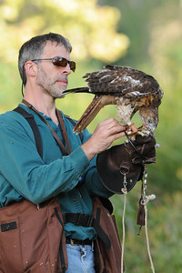 falconer leashing red-tailed hawk after a hunt