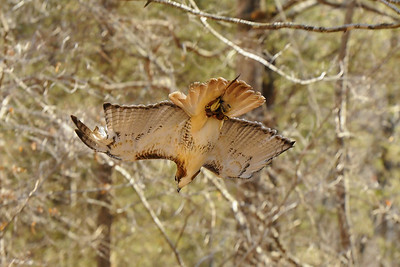 falconry.  Red-tailed hawk diving at prey