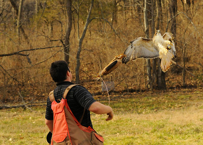 "falconer working his bird with a training/reward device called a ""lure"""