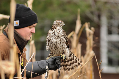 american goshawk hunting from glove