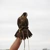 Male Anautum Peregrine Falcon