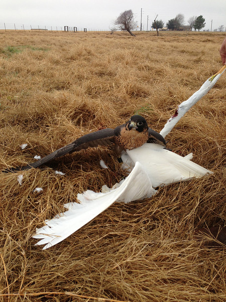 While flushing ducks for Freja she killed this Greater Egret. This was not intentional but falcons are opportunistic and will occasionally kill prey other than intended quarry. This is totally legal but the bird had to be left in the field.
