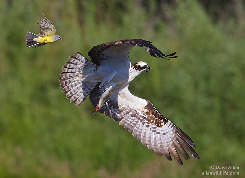 Western kingbird, Osprey and a trout.