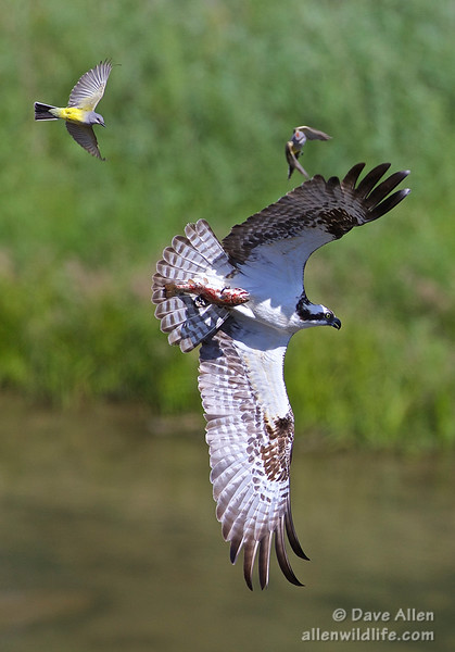 Western kingbirds, Osprey and a trout.