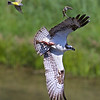 Western kingbirds, Osprey and a trout.