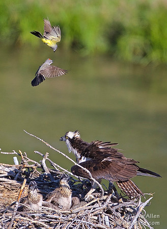 Western kingbirds, Osprey