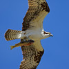 Osprey and a trout.