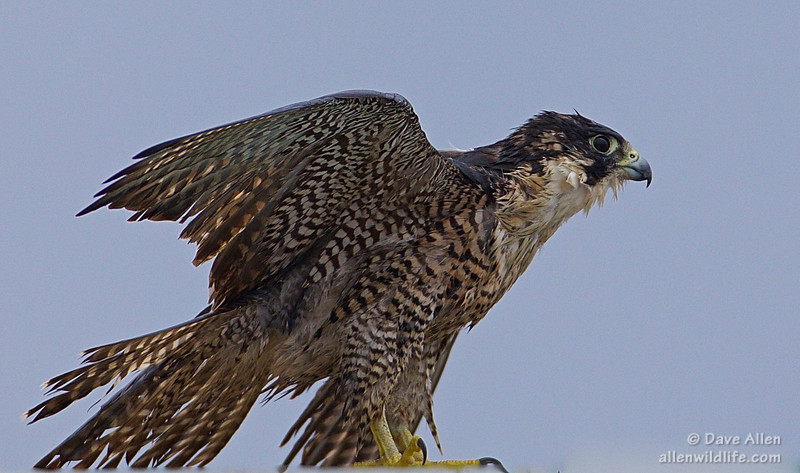 Peregrine falcon, Drying out after all the rain.
