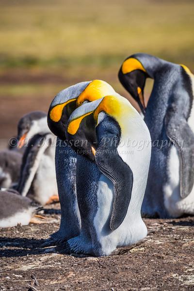 King penguins at Bluff Cove, Falkland Islands (Islas Malvinas).