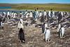 Gentoo and King penguins at Bluff Cove, Falkland Islands (Islas Malvinas).