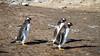 Gentoo penguins at Bluff Cove, Falkland Islands (Islas Malvinas).