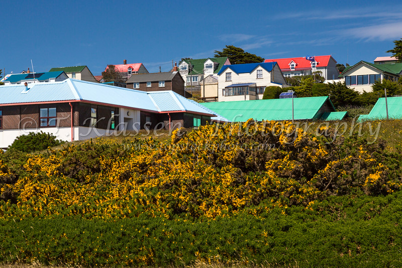 Broom flowers in Stanley the Capital of the Falkland Islands on East Falkland, British Overseas Territory.