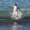 Our first surfing Gentoo Penguin!