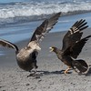 This Caracara wanted the carcass to itself!
