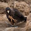 This Striated Caracara had caught a Thin-billed Prion