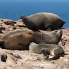 A South American Fur Seal suckling a maturing pup