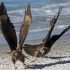 An aggressive adult Striated Caracara (Johnny Rook) chasing off a juvenile